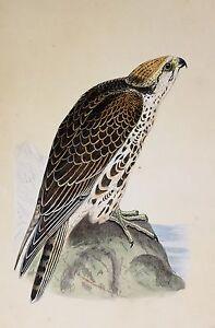c1875 ANTIQUE PRINT ~ SAKER FALCON HAND COLOURED British Birds Morris