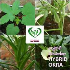 Hybrid okra seeds for home garden