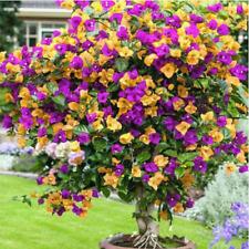 100pcs Colorful Bougainvillea Seeds Balcony Flower Pot Bonsai Floriferous Tree