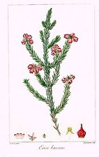 "Bessa's L'Herbier General - ""ERICA BACCANS"" - Hand-Colored Engraving -1836"