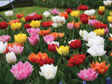 5 Double Tulips Mixed Color Flower Bulb Perennial Spring Blooming