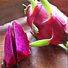 "American Beauty Dragon Fruit 4 Live Plants 2"" Pot Best Gift Garden Plant Outdoor"