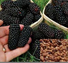RARE  MULBERRY Fruit plant Tree 20 SEEDS- Combined Shipping ( USA seller)