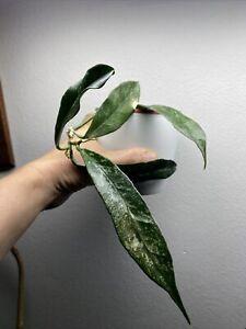 Hoya Griffithii Silver/ Rare Hoya