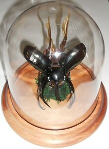 Chalcosoma caucus Beetle in a Dome