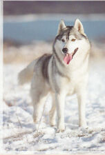 Polarhund * Schlittenhund * Husky * Malamute *  Dog  * Postkarte  *  Postcard 9