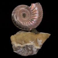 Iridescent Natural Ammonite Fossil Russia