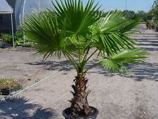 50 Washingtonia Filifera Palm Tree Seeds, Rare Mexican Fan Home Garden Plant