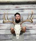 Dark Perfect 12pt Whitetail Antler Horn Deer Fake Skull Mount Taxidermy Rack