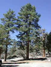 10 x Ponderosa Pine tree seeds, Blackjack Pine (pinus ponderosa) tree.