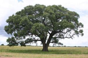 Sclerocarya birrea ssp caffra - African Marula Tree - Seeds