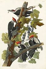 Audubon Reproductions: Birds of America: Pileated Woodpecker - Fine Art Print