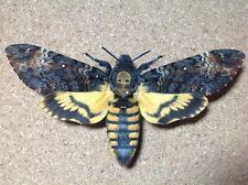 More details for death's head hawk moth (acherontia atropos)