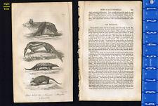 Great Ternat Bat, Tamanoir, Pangolin & Armadillo - 1830 Goldsmith Engraving