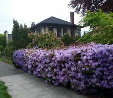 """Lavender Rhododendron 4 Unrooted 6-10"""" Cuttings Privacy hedge ornemental Bush"""