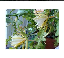 Epiphyllum-anguliger-fishbone-succulent-zig-zag-cactus-hanging-plant-10-seeds