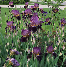 40 X Purple Iris Mme Henri Cayeux Historic Tall Bearded (Tb) - Lot 40 Rhizomes