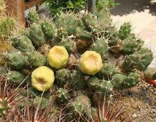 cumulopuntia boliviana 10 seeds korn graines parodia rare cactus
