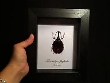 Insecte Insect Entomologie Frame Cadre Mormolyce phyllodes A1 d'Indonesie!
