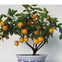 30stk ORANGEN BAUM samen: pflegeleichte-Zitruspflanze, gedeiht immer Baumsa C0Z3