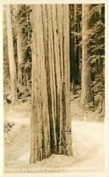 California #569 RPPC Photo Postcard Wayside Redwoods 21-1798