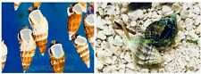 100 Pack TOTAL MIX BAG of  Nassarius & Cerith Snail Clean Up Crew Reef