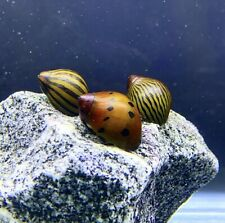 3 Nerite Snails Mixed Pack (Neritina Sp.) - Live Freshwater Snail Plants