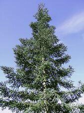 Increíble Oferta-cuatro diferentes árboles de abeto 100 Semillas