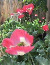 Afghan Special Poppy Seeds, Somniferum, Izmir Farms, 0.5 gram