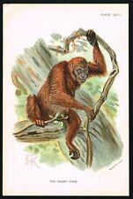 1890 Orangutan Great Ape, Indonesia & Malaysia, Antique Print - Allen