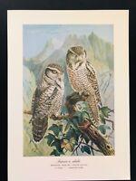Antique Bird Print-Tengmalm's 2 Hawk Owl SCHLEIEREULE-Plate Naumann-1896