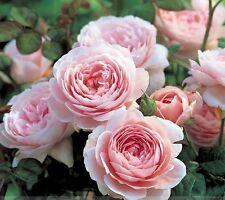Rare 'Queen of Sweden' Pink Rose Shrub Flower Seeds, Professional Pack, 50 Seeds