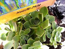Succulent Aeonium haworthii 'Green Pinwheel' Fresh Cuttings 7cm x7cm