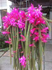 Aporocactus Flagelliformis (Rat Tail Cactus) Cuttings, Beautiful Flowers rare