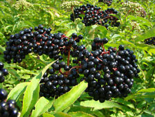 Elderberry, BLACK ELDERBERRY tree berry, 35 seeds!