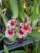 Tolumnia Jairak Rainbow Orchid Plant Blooming Thailand Cites # 1