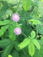 1 oz (4,500+) Mimosa Pudica seeds Sensitive Plant Fun For Kids Leaves move! Bulk