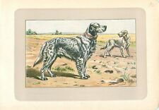 English Setter anglais CHIEN DE CHASSE HUNTING DOG ANTIQUE PRINT 1907