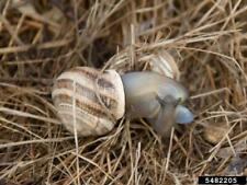 MILK LAND SNAILS ALIVE  Otala Little Cute Pets Live from Nature