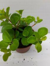 Peperomia Rotundifolia  LIve Tropical Vivarium Terrarium House Plant