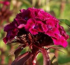 Dianthus barbatus 'Oeschberg' / Sweet William / 500 Seeds