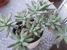 Gereifte Echeveria pulvinata /'Frosty Cristata/' L
