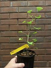 "Rare Ginkgo Biloba 'Elmwood' Cloned Tree ""No Graft� Bonsai Quality!"