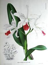 Orchidea Laelia Elegans Linden litografia Doppia Dimensione Antico Botanico Stampa 1884