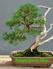 LAWSON CYPRESS - Chamaecyparis lawsoniana 100 seeds Bonsai garden tree wall
