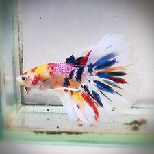 Live Betta Fish - Male - Koi MarbleMulticore HalfMoon Betta(AJUN47)(High-Grade)