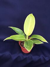 "PHILODENDRON MOONLIGHT, BEAUTIFUL VIVID LIVE HOUSE PLANT SHIPPED IN 3""  POT"