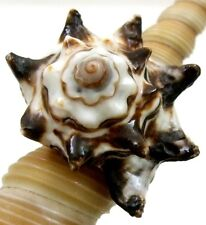 STUNNING VASE SHELL RING, size US-8 ; CA316-D
