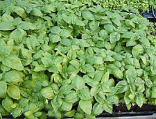 1000 Italian Large Leaf Basil Flower Herb Seeds + Gift