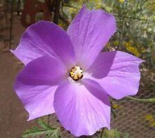 SEEDS 6 graines HIBISCUS BLEU D'AUSTRALIE(Alyogyne Huegelii) SAMEN SEMILLAS